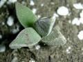 Aloinopsis rubrolineata -5Km S  Graaf Reinet