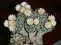 Turbinicarpus pseudomacrochele ssp. minimus ( Turbinicarpus krainzianus v. minimus )