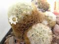 Mammillaria carmenae