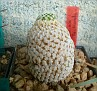 Mammillaria solisioides ( Solisia pectinata )