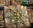 Gymnocalycium stenopleurum ( Gymnocalycium friedrichii )
