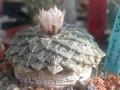 Ariocarpus kotschoubeyanus ssp. albiflorus