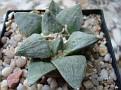 Ariocarpus retusus -Coronel SLP