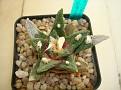 Ariocarpus fissuratus ssp. bravoanus = Ariocarpus bravoanus ssp. bravoanus