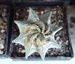 Astrophytum capricorne v. major - P368