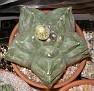 Astrophytum myriostigma v. nudum  'Kikko'