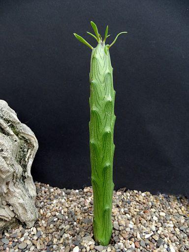 Kleinia barbertonica