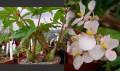 Begonia carolinifolia