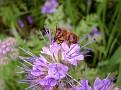 Biene auf der Bienenweide