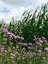 Bienenweide am Maisfeld