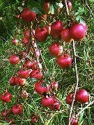 Apfel-Picknick