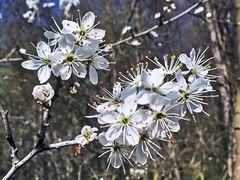 Dorniger Blütenbusch