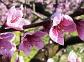 Fiori di pesco (peach blossoms)