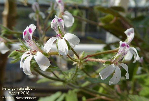 Pelargonium album