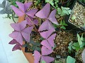 Oxalis Triangularis 'Francis'