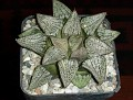 Haworthia picta - Japan cv.