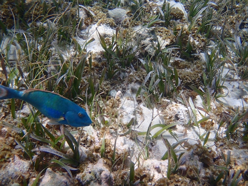 queen parrotfish with sea grass