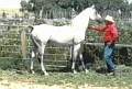 SHALIMAR CARIBOU #236896 (Winraff++ x Shalimar Colletta, by Garaff) 1981 grey stallion bred by Shalimar Ranch