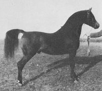ISLAM #1709 (Gulastra x Nafud, by Nejal)1939 bay stallion bred by General JM Dickinson/ Travelers Rest; sired 40 registered purebreds